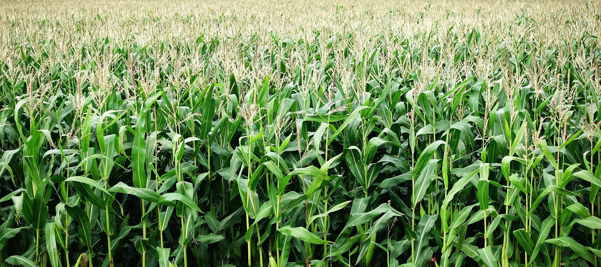 corn-2655525_1920